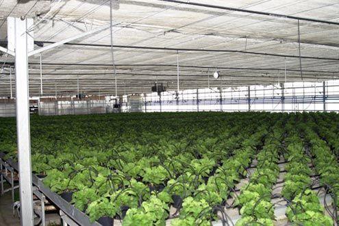 Mesas de cultivo fijas en invernadero de producción de planta