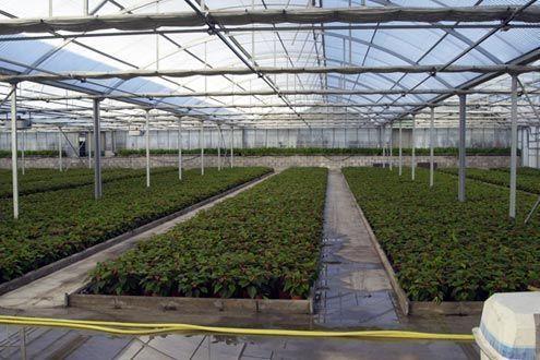 Invernadero Multitúnel Agrolux en viveros para producción de planta.