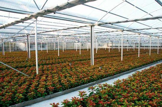 Invernadero multitúnel planta ornamental